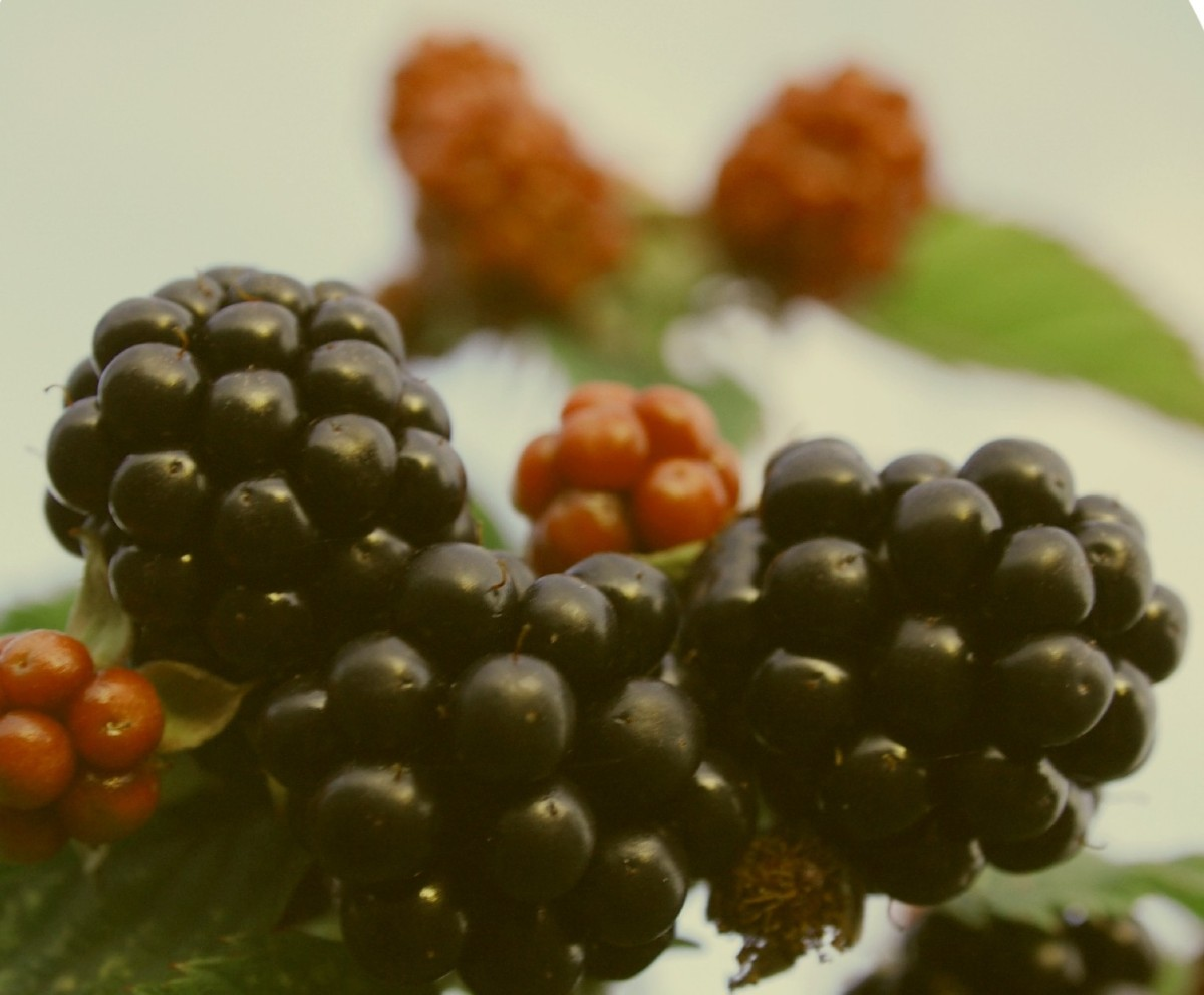 The Blackberry Bonanza! – A glut of Blackberries