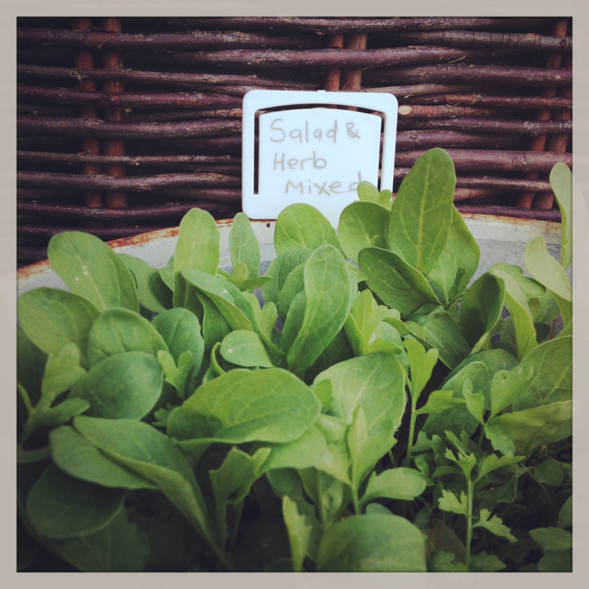 Long were the Salad Days: A Summer SaladChallenge